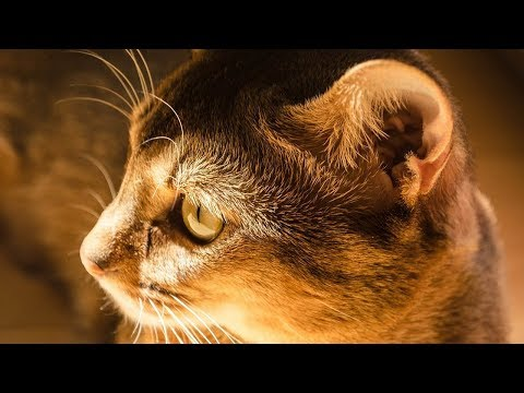 How to Care for Abyssinian Cats - Grooming Your Cat