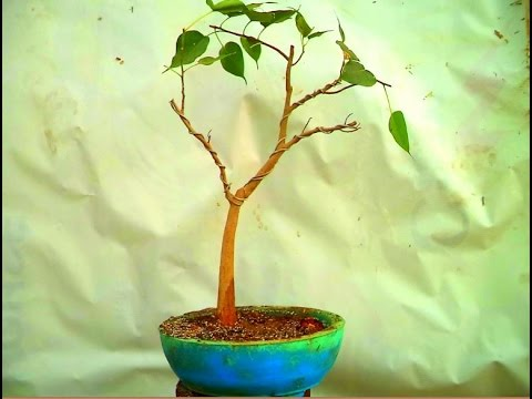 How To Re Pot A Ficus Religiosa Bonsai Pal Bodhi Tree Mammal