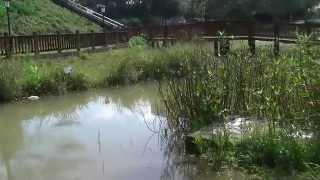 陽明運動公園生態池、木橋