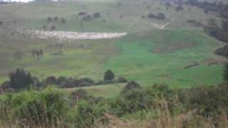 Sheep being herded in the Catlins, New Zealand can hear dogs being commanded