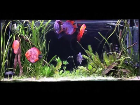 How To Set Up A Discus Aquarium (Filtration, Water Chemistry, And More)