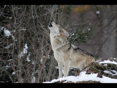 Wolf Hunt Update And A Crazy Story, ( lots of video and photos)