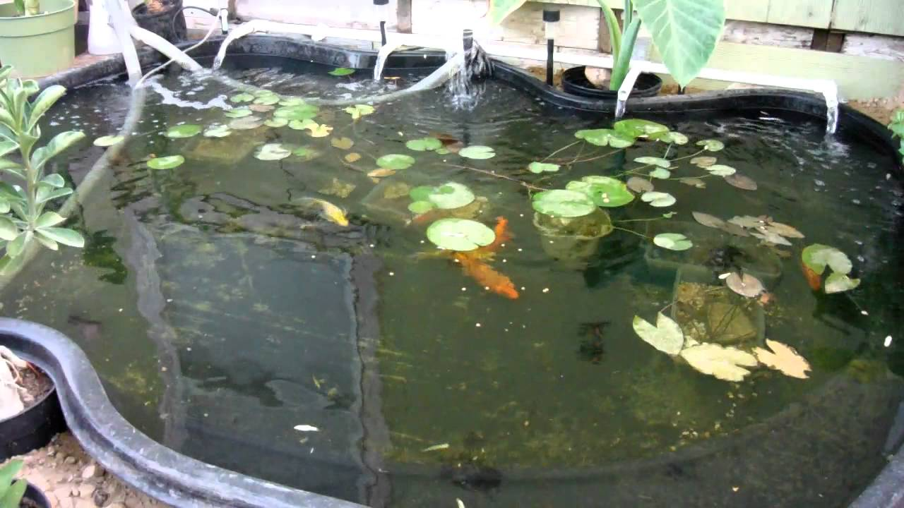 Koi Pond With Butterfly Koi And Regular Long Fin Koi Youtube