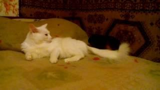 Кошка и морская свинка