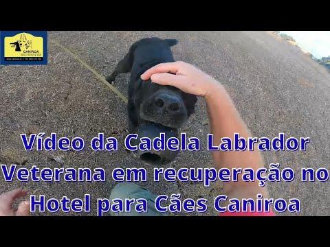 Vídeo da Cadela Labrador Veterana em recuperação no Hotel para Cães Caniroa.