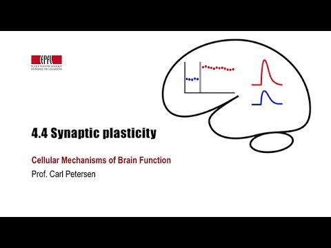 4.4 Synaptic plasticity