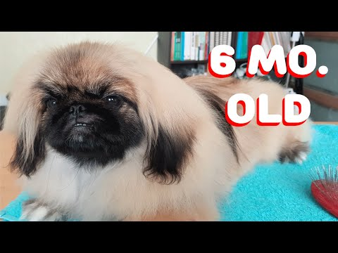 Poppy's Daily Grooming Needs (Grooming a Pekingese at Home)