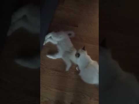 Birman cat vs. Great Pyrenees puppy.