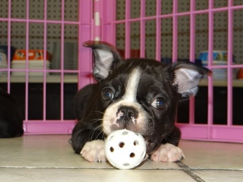 Boston Terrier Puppies Dogs For Sale In Charlotte North