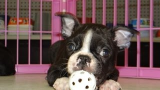 Boston Terrier, Puppies, For, Sale, In, Charlotte, North Carolina, Nc, Lexington, Clemmons, Fuquay V