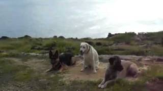 Off Leash Labrador  &  Shepherds With Balanced Obedience Dog Training Of Hawaii