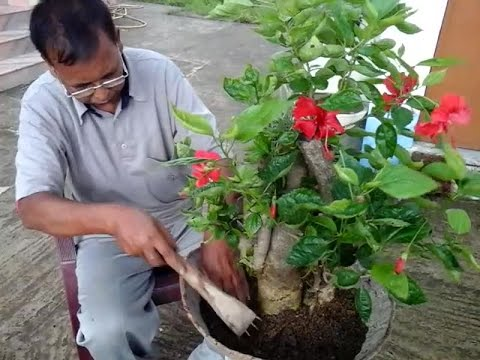 Repoting Bonsai Hibiscus Tree Which Was Collecting And Planting