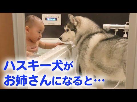 とっても優しいハスキー犬が、赤ちゃんのお姉さんに♡ ハスキー流の子育て日記