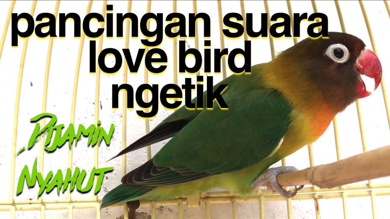 Pancingan Lovebird Suara Ngetik Dijamin Lovebird Anda Akan Nyahut Youtube