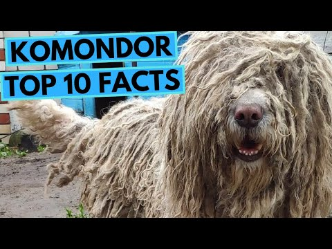 Komondor  TOP 10 Interesting Facts