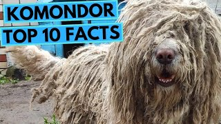 Komondor  TOP 10 Interesting Facts