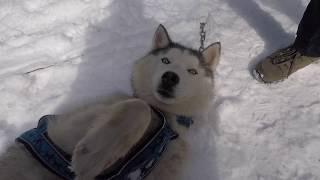 Dog Sledding in Siberia