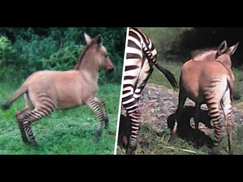 It's a zonkey! Zebra gives birth to rare baby after mating with donkey