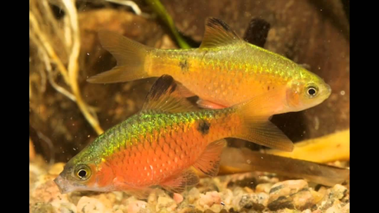 Fish in tank with goldfish - 5 Fancy Goldfish Tank Mates Goldfish Friends Goldfish Compatible Youtube