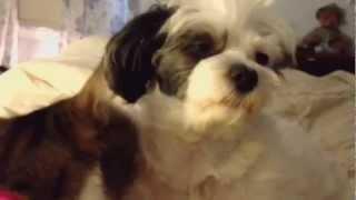 Cat Loves Maltese-shihtzu Dog