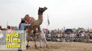Camel dance at Pushkar fair, Rajasthan