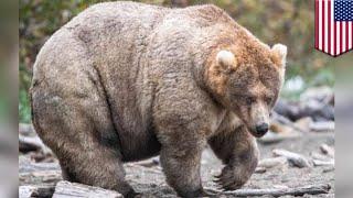 Fat Bear Week 2019: 435 Holly win fattest bear - TomoNews