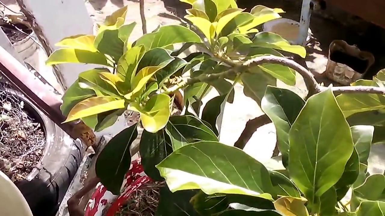 Mi planta aguacate enana est floreciendo en maceta for Varias plantas en una maceta