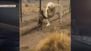 Лев поцеловал лапу собаке реальная съемка момента