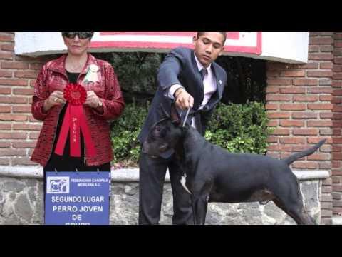 English Bull Terrier- Black Magic - 3 Years Old