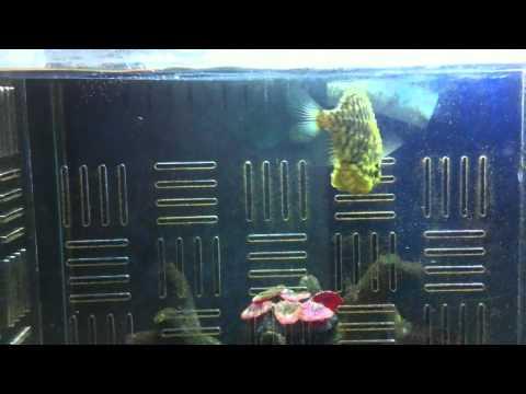 Pinecone Fish Feeding