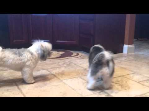 Two Havanese Dogs Tango with BB-8