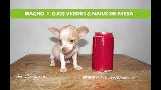 Chihuahua Mini Toy de Ojos Verdes & Nariz de Fresa en Venta