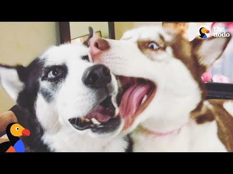 Whiney Husky Howls Until He Gets A New Sister | The Dodo