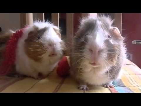 Two guinea pigs on the merits of pumpkin spice - FLUFF