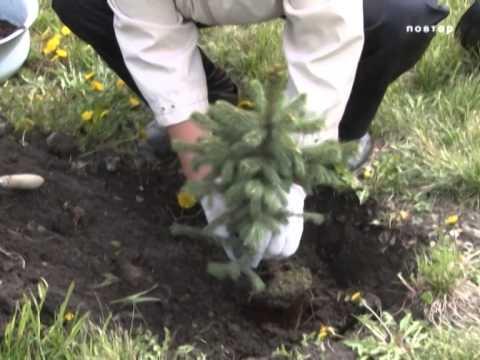Как посадить елку на участке осенью