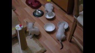 Как три тайских котенка обедали! Тайские кошки - это чудо! Funny Cats