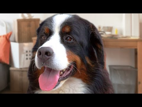Bernese Mountain Dog Compilation