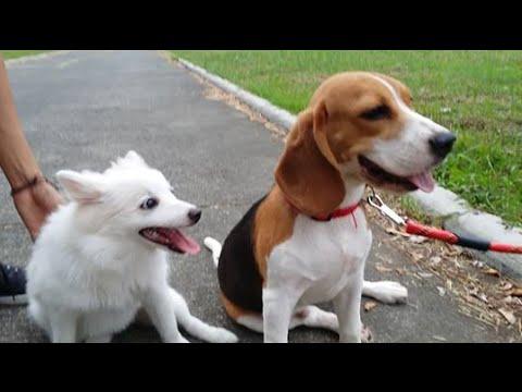 Beagle- beagle vs japanese spitz