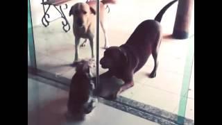 from @lucas cezar tag: dog labrador yorkshire title: Eles se amam. ...