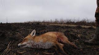 Krenula je sezona parenja lisica, izuzetno su aktivne, pokazacemo v...