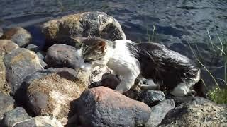 Коты рыболовы