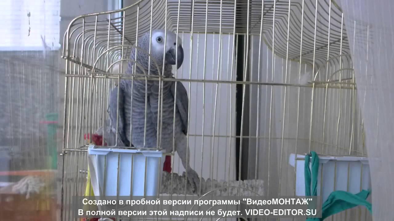 Попугай жако Павлик поет
