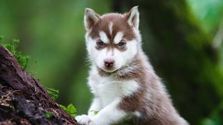 Getting To Know Your Dog's Breed  Siberian Husky Edition
