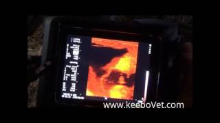 RKU-10 Ultrasound Doppler Examines Cow that is 60 Days Pregnant