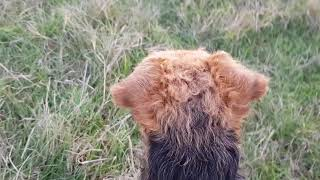 welsh terrier hog track training