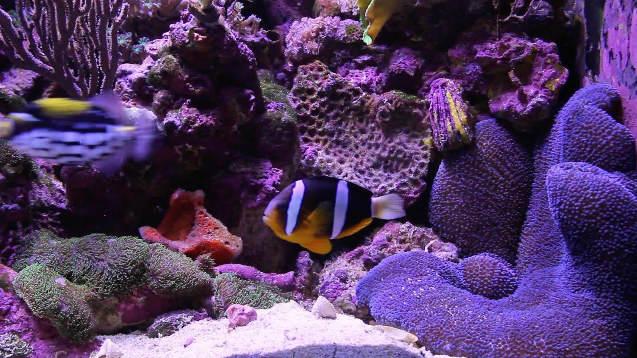 Clarkii Clownfish Feeds Blue Carpet Anemone Youtube