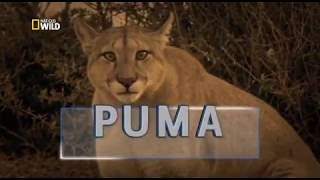Download Video Puma Lion of the Andes . Nat Geo Wild. Wild Nature channel MP3 3GP MP4