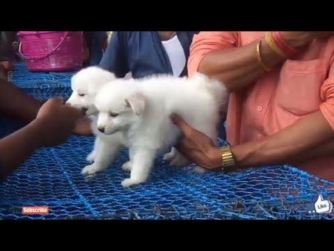 BEST QUALITY WHITE  POMERANIAN DOG GALIFF STREET PET MARKET  IN KOLKATA