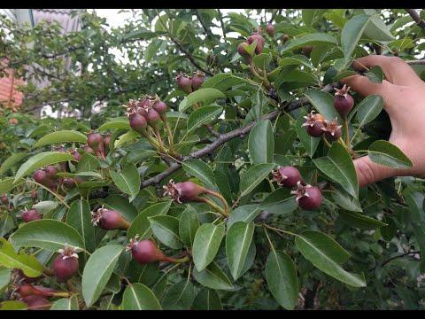 Удаляем до 90% завязи. Производим нормировку урожая яблонь и груш.