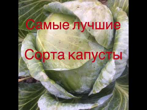 Лучшие сорта капусты которые вырастут при любых погодных условиях.